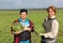 На Малоритчине выращивают самые вкусные арбузы
