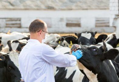 Как скрывают падеж скота? Очень просто!