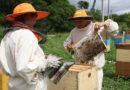 На Малоритчине «качают» мёд!