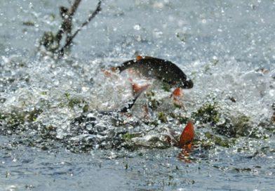 До 18 мая в Брестской области — запрет на ловлю рыбы. Любителям можно, но…. — осторожно
