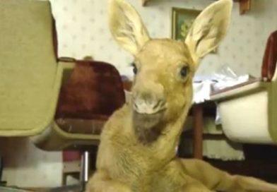 В Малоритском районе спасли лосёнка (видео)