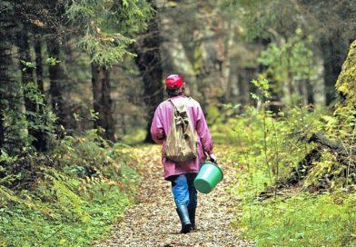 Грибники блуждают в лесах Малоритского района