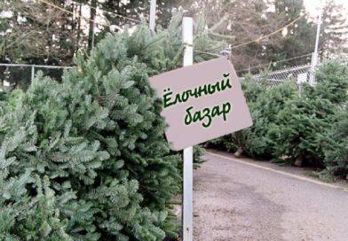 Новогодние деревья на Малоритчине можно будет купить с 20 декабря
