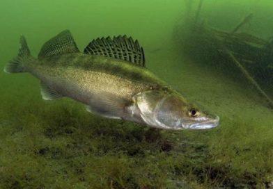 В Брестской области с 15 апреля запрещено ловить судака