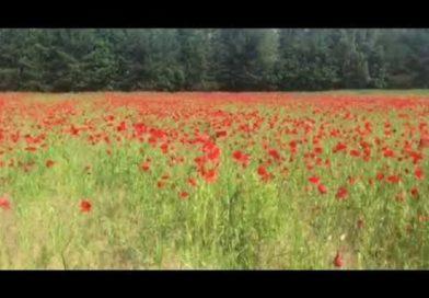 В Малоритском районе уничтожают «плантации» мака