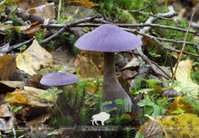 В Беловежской пуще пролили фиолетовые чернила? В Малоритском районе тоже…