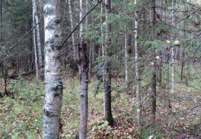 Два человека заблудились в лесу возле Замшан (Малоритский район)